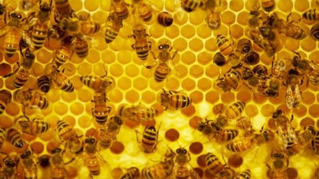 We can reverse the aging process in bees' brains. Could humans be next?