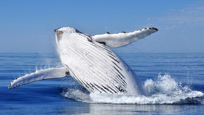 Descriptions of the first picture of mating humpback whales are priceless