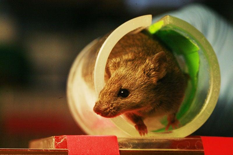 Wild Animals Sneak Onto Laboratory Running Wheels to Exercise