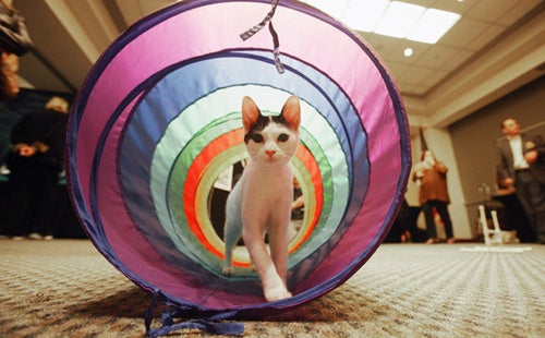 Meet Cats With Attitude At Meet The Breeds