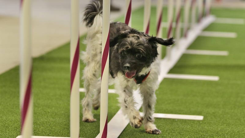 Mutts Now Welcome at the Westminster Dog Show