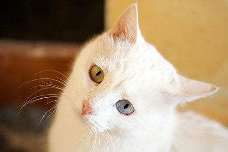 Turkish Cat Channels Britney Channeling David Bowie