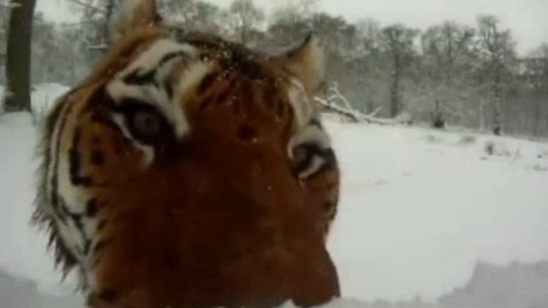 Tigers brutally maul snowmen, look adorable in the process