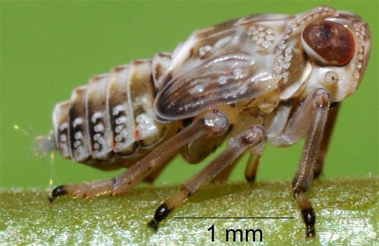 This insect evolved gears in its legs