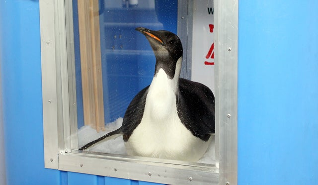 Famous Penguin Ditches Surveillance, Goes Rogue