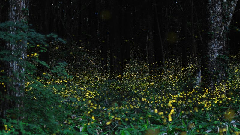 What a Wonderful Sea of Fireflies