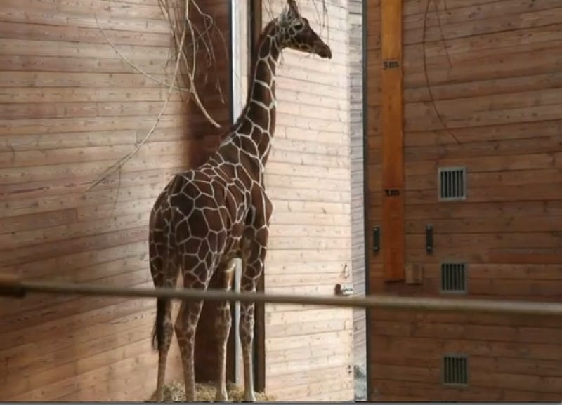 "Zoo Shoots ""Surplus"" Giraffe in Head, Feeds it to Other Animals"