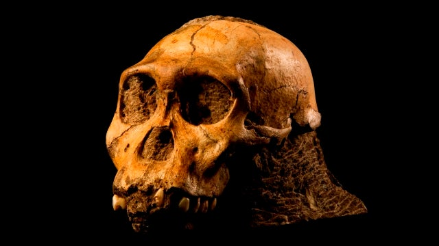 Scientists unveil a newly-discovered, ancient human ancestor