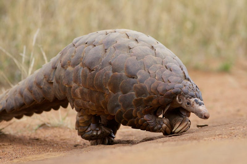Pangolins Walk Just Like T. Rex