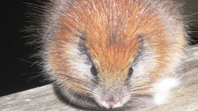 Red-crested rodent reappears after 113 years