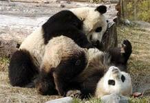 PandaSexLoveSounds