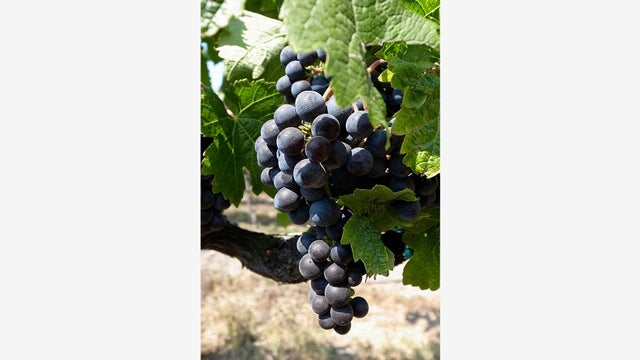 Why Genetically Engineered Grapes Would Make Great Wine