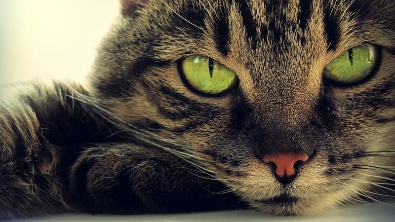 Cats Are Divas Who Refuse to Cooperate With Scientists