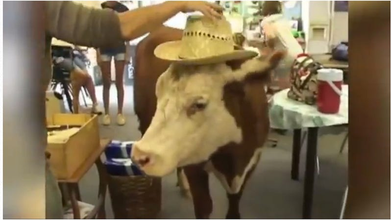 This Cow Thinks She's a Dog, Is Best Dog on Earth