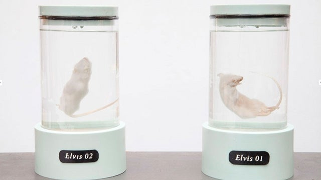 Artist creates genetically modified Elvis-mouse hybrid