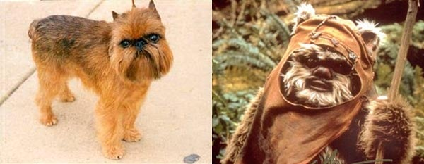 Brussels Griffon Favored To Win Biggest Dog Show (Yub Nub)