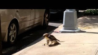 Hawk Eats Live Mouse on NYC Curb Because This City Is Cruel and Cold