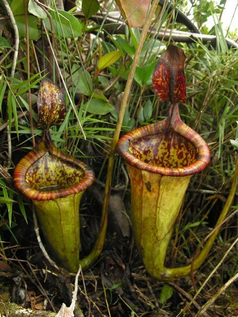 Mammal-Eating Plants Found in the Philippines