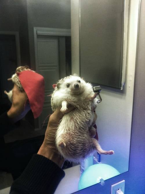 And now, something soft and cuddly to get you through a hard day. Meet Thor, Hedgehog of Thunder