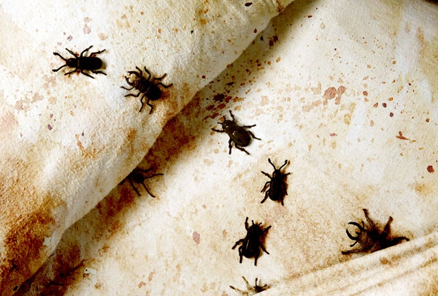 Bugs That Look Like Ticks In Addition How Do You Get Rid Of Bed
