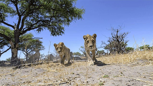 Camera buggy takes the cutest photos of lion cubs I've ever seen