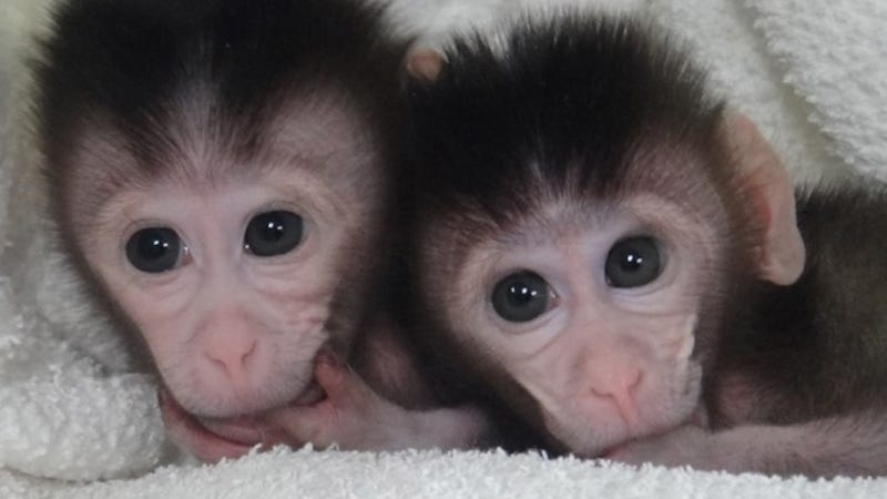 First custom mutant monkeys bring us one step closer to designer babies