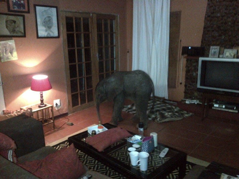 Baby Elephant Wanders Into South African Living Room, Has A Snack