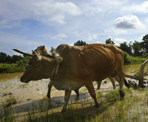 Balinese Teen Forced to Marry Flirtatious Cow