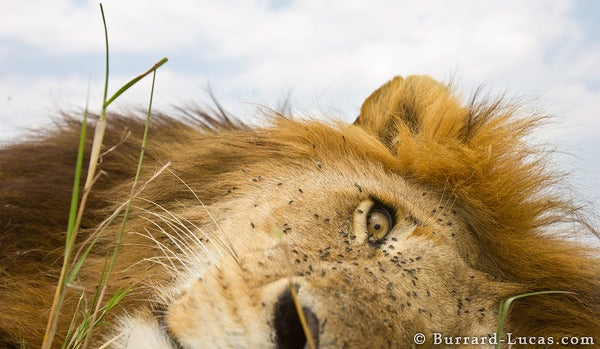 "This plucky ""Beetlecam"" photography droid gets in hungry lions' faces"
