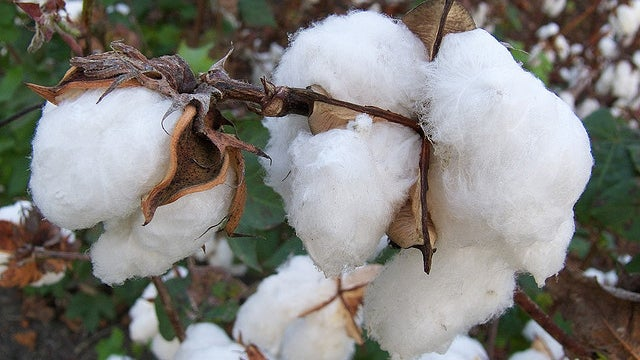 One of America's Oldest Industries, Cotton, Is Surprisingly High-Tech