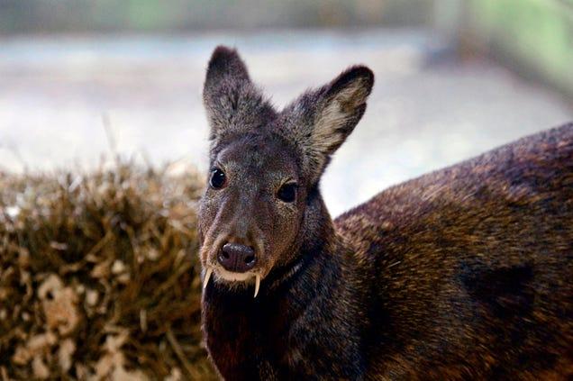 """Meet Afghanistan's Elusive, Endangered """"Vampire"""" Deer"""