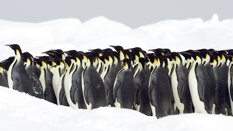 Here's how massive packs of penguins move as a single unit