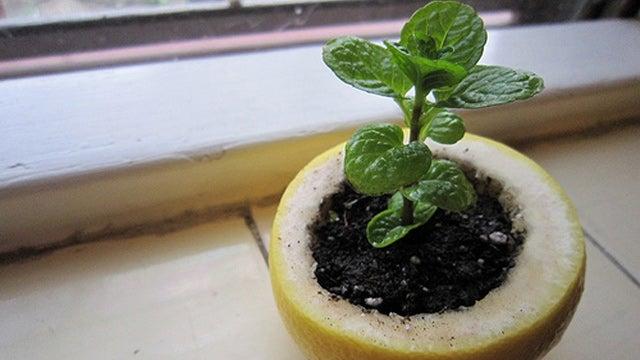 Repurpose a Citrus Peel into a Seed Starter Pot