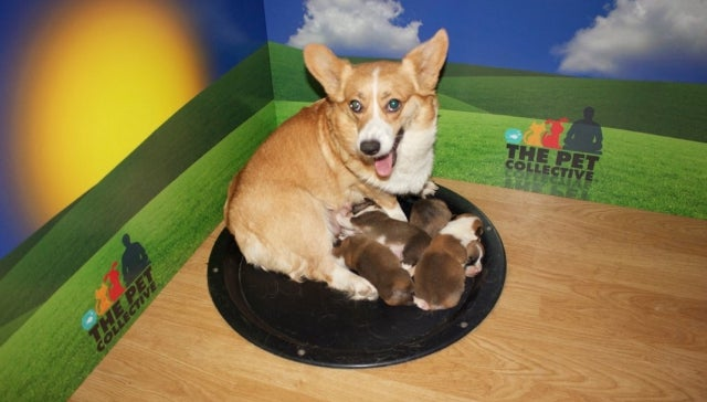 YouTube's First 24/7 Animal Live Stream Is — What Else — a Corgi Puppy Cam