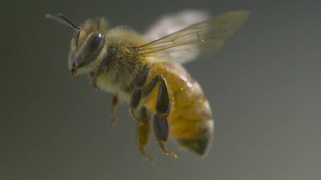 Gorgeous Slow-Mo of the Machine-Like Beauty of Honeybees in Flight
