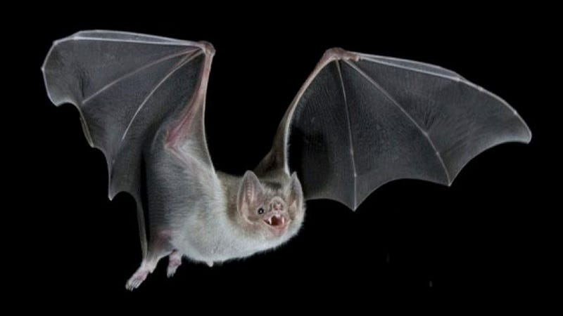 Vampire bats detect blood the same way we detect spicy food