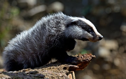 Badgers defeat UK Government