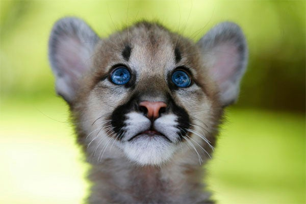 No, Actually, This Is A Cougar