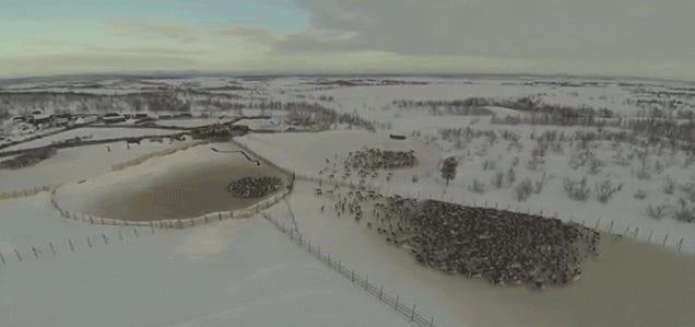 Herding reindeers sure looks a lot like controlling alien locust swarms