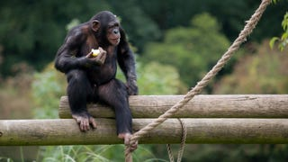 A New York Judge Has Granted Legal Person Rights To Chimpanzees