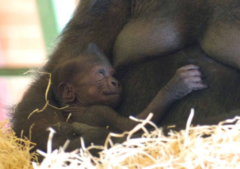 A baby gorilla has just been born at the Twycross Zoo in the UK!