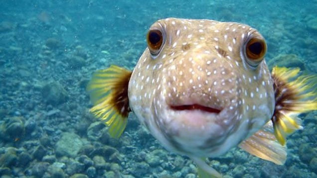 How the puffer fish gets you Fish