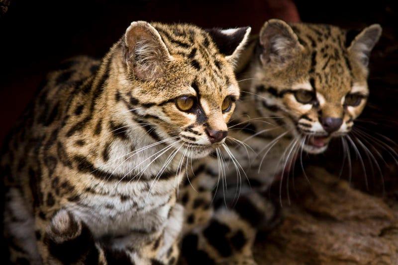 Caturday - Leopardus wiedii Edition