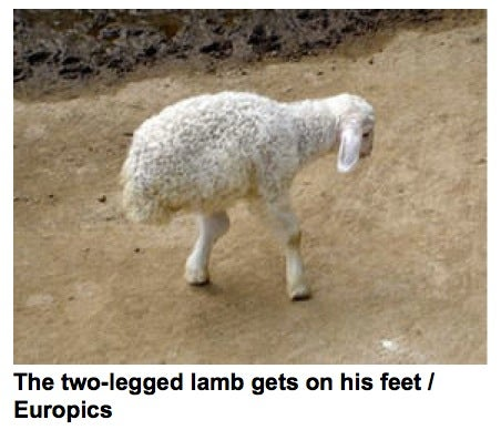 This Two-Legged Lamb Was Granted A Pardon