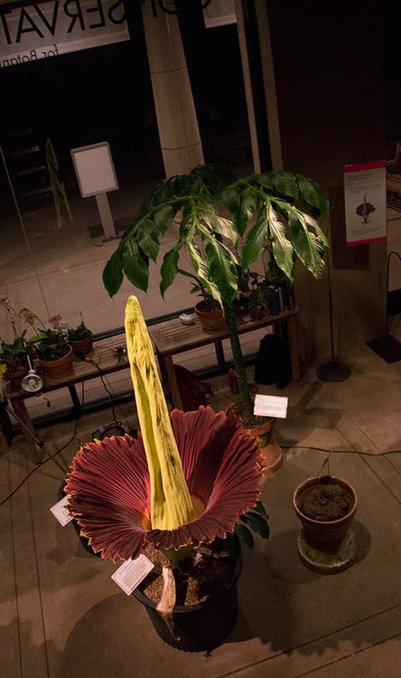 Behold the marvelous corpse flower