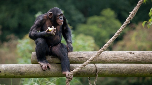 The difference between humans and chimps is all in the junk DNA