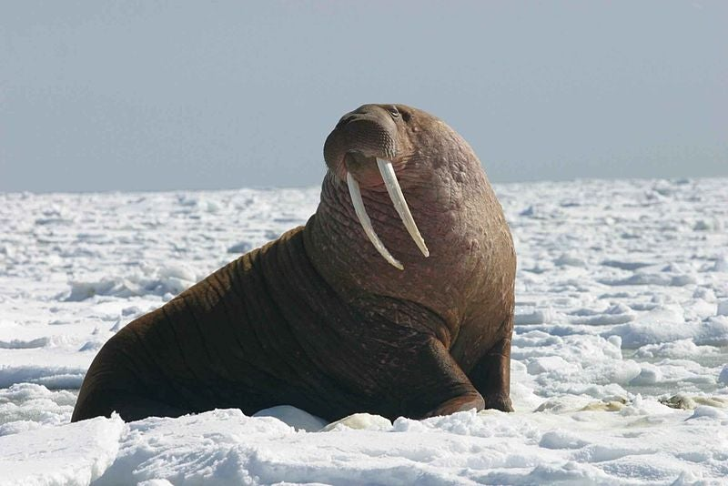 Walruses Are Deadly Hunters, Not Cute and Squishy