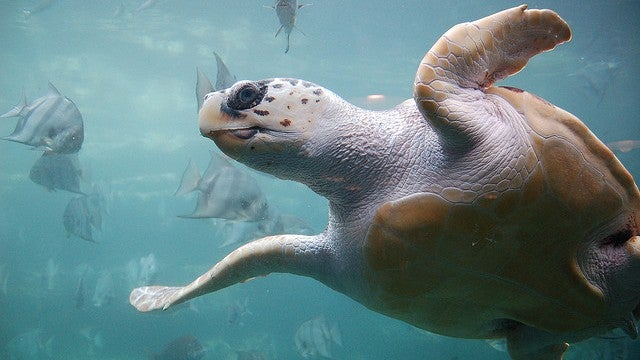 How turtles sense Earth's drifting magnetic field