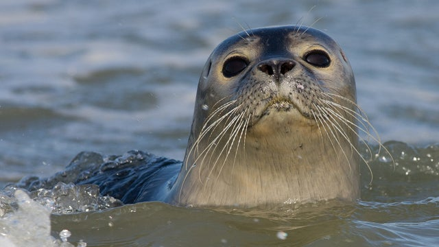 A deadly new strain of bird flu has spread to seals. Could humans be next?