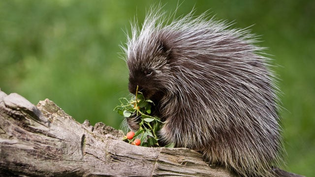 Pennsylvania Declares Open Season On Porcupines